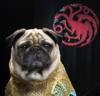 Daenerys The Pug