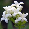 Sweet Woodruff is a small and white fragrant flower that grows in clusters low to the ground. It is used in garlands for its scent, and is a symbol of humility.