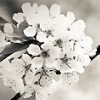 Cherry blossom - black and white photo