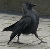 a raven, looking like a funky little death omen