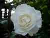 A white rose in full bloom