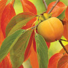 A peach on a tree with a background of leaves
