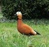 confident orange duck on grass