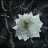 White Tree Bloom