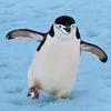 Happy chinstrap penguin