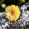 a dandelion growing on a snowy log