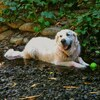 A picture of an English creme retriever sitting in a stream