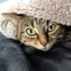 Cat peering out from blanket