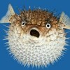 frontal view photo of inflated pufferfish, looking scandalized