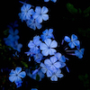 blue flowers on a black background