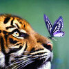 the upturned face of a young tiger looking at a purple butterfly