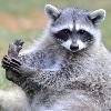 a cute raccoon