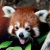 A red panda looking exceptionally silly. Hi, panda!