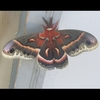 Big red and gray moth; Cecropia moth perched on door jamb