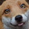 A red fox with large eyes and its tongue sticking out inspects the camera.