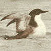 A marbled murrelet on water, wings spread.