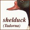 shelduck (tadorna)