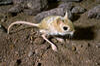 A small jerboa