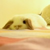 an image of a flat and relaxed baby rabbit