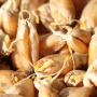 sprouted barley malt grains