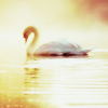 white swan on water in golden light