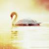 white swan on water in golden light
