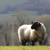 a sheep standing in a field