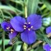 Purple Spider Wort flower