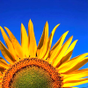 sunflower icon by jai @ dreamwidth