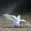 a cockatoo having a great time with a sprinkler