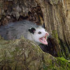 possum-yelling