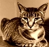 tabby cat photograph in sepia