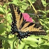 Yellow-and-black-striped butterfly with blueish tail on a pink flower in front of green leaves.