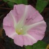 A pink morning glory flower close-up