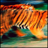 two vividly orange tigers blurring with motion, moving past a green forest