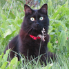 Callisto - my black cat staring straight at the camera in a grass-field