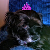 small, black, aging schnoodle dog with a grey beard, sitting on a blue couch and looking at the camera while wearing an adorable pink crown on her head