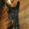 newborn alpaca cria
