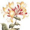 honeysuckle is an edible flower