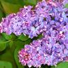 Description: Purple lilacs against a background of green leaves