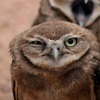 a burrowing owl giving you the stink-eye.