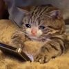 Cat with watery eyes reading a cell phone while in bed
