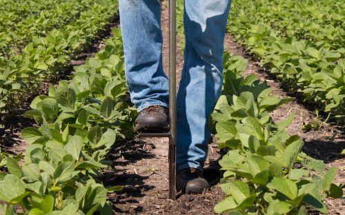 Soil Sample In Soy Bean Field