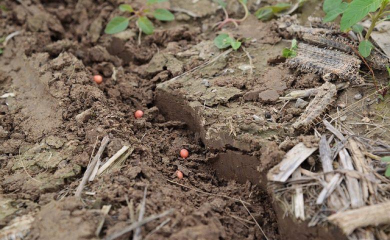 Soybean Seed In Soil