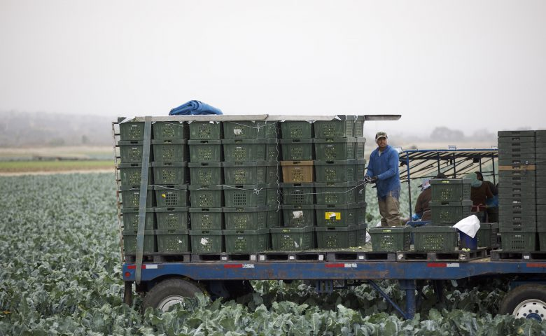 Broccoli Harvest Boxes