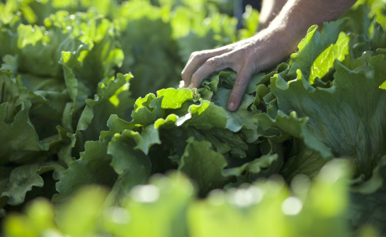 Lettuce Leaf Detail