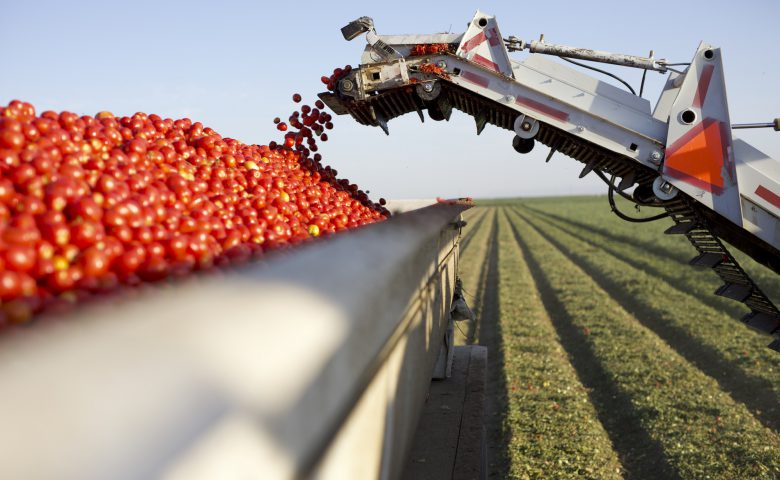 Tomato Harvest in Truck