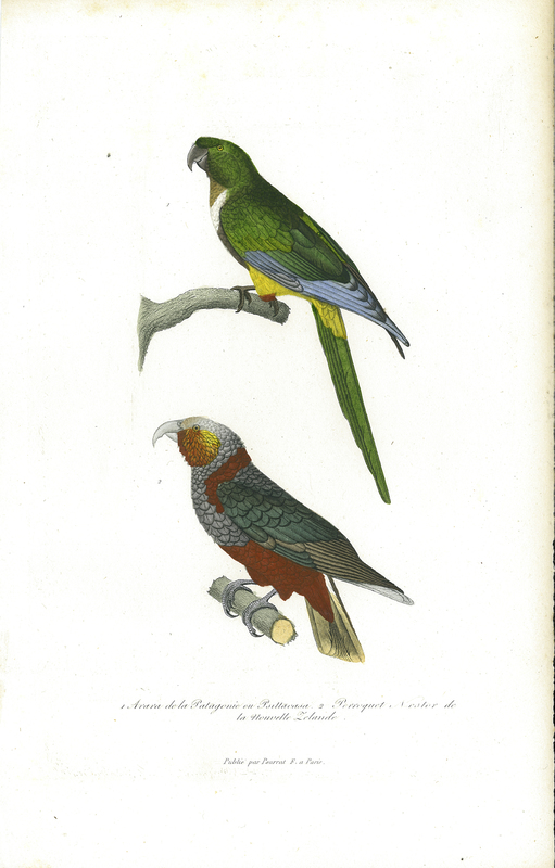 Kākā (Nestor meridionalis), 'Perroquet Nestor de la Nouvelle Zélande', from Compléments de Buffon, Races humaines et mammifères. Vol. 2, Deuxième Edition