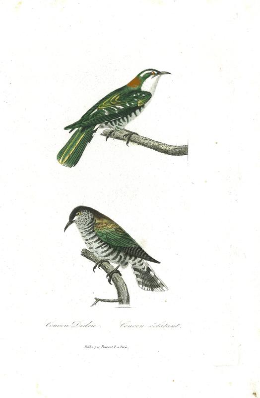 Shining Cuckoo (Chrysococcyx lucidus), 'Coucou éclatant', from Compléments de Buffon, Races humaines et mammifères. Volume 2, Deuxième Edition