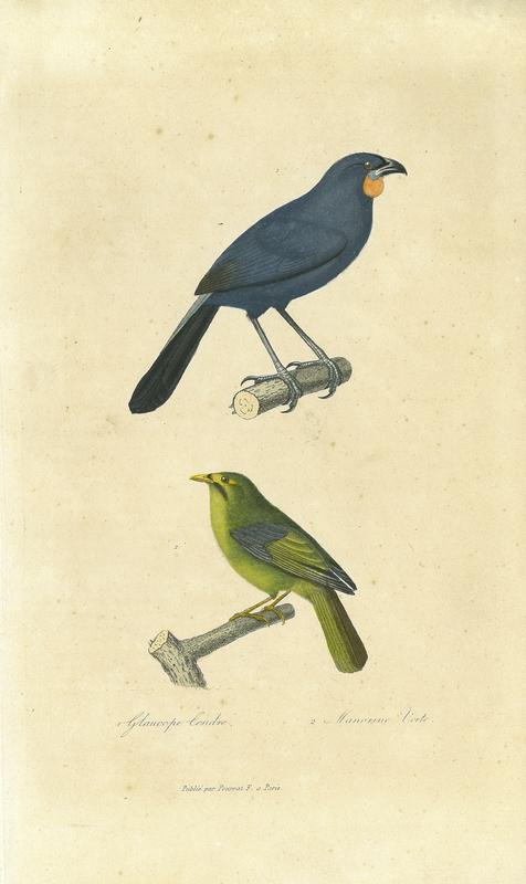 South Island Kōkako (Callaeas cinerea), 'Glaucope Cendré', from Compléments de Buffon, Races humaines et mammifères. Volume 2, Deuxième Edition